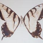 papillon-brou-de-noix-sur-carton-100x-150cm-2016
